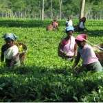 Women-in-Tea-Fields