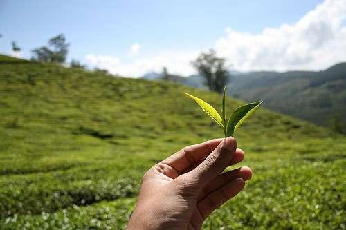 Tea epistemology