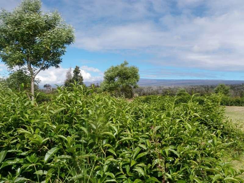 Exploring the Hawaii-grown tea industry
