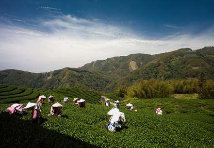 The history of tea in Taiwan: A fractured fairytale