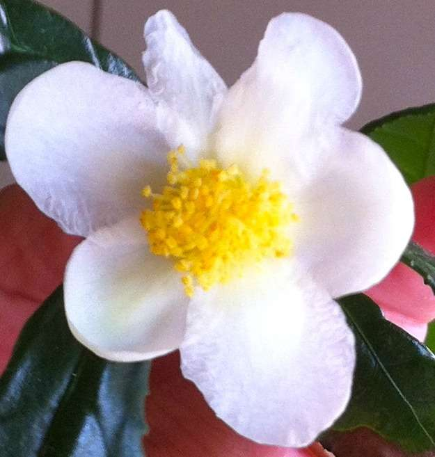 The mighty Camellia sinensis