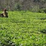 kenyan_tea_farmer