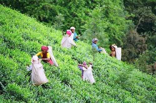 tea_pickers_field
