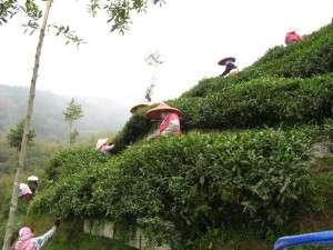 Shanlinxi harvest