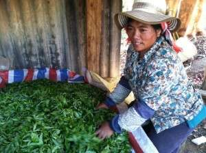 Fresh 2014 Spring Tea Harvest from an Agro-Forest