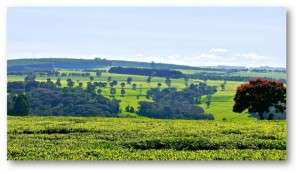 Large scale tea garden