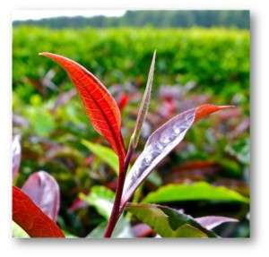 Purple tea bush 5