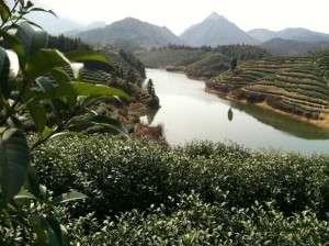 Tea Gardens in Hangzhou Province