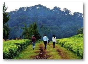 kangaita tea gardens 6