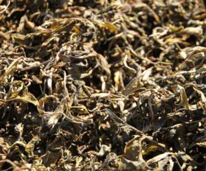 tea varietals 1