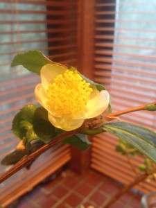 michelle tea blossom