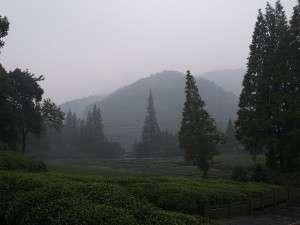 Hangzhou plantation