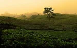tea plantation march