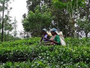tea pickers Elyse