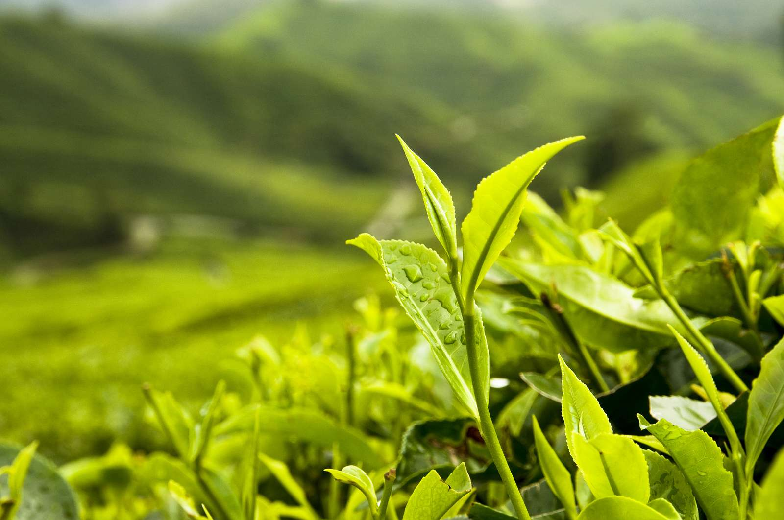 The Importance of Organic Tea