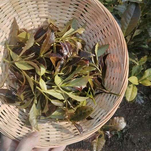 The first Spanish tea harvest