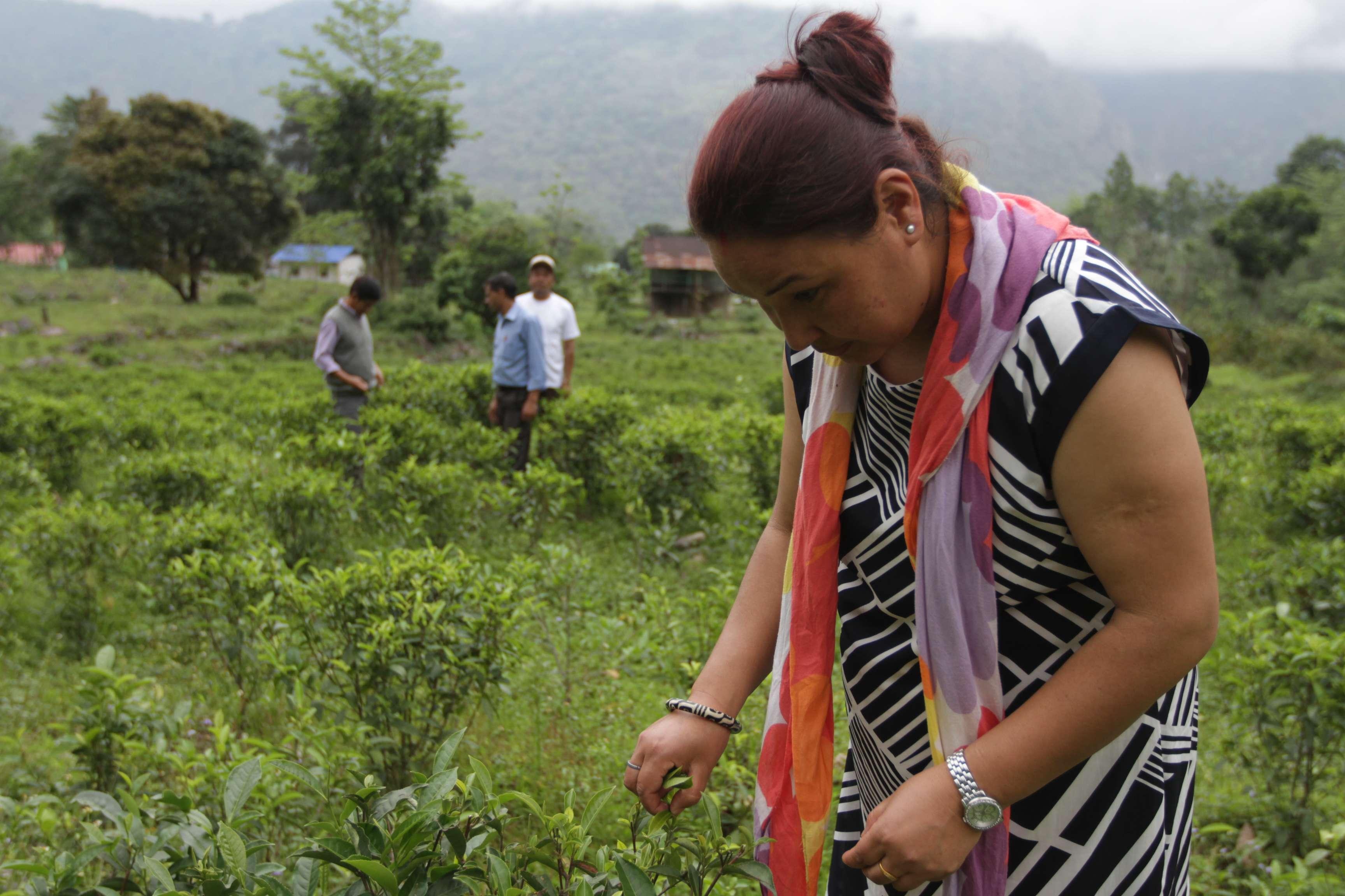 A New Legacy of Darjeeling Tea