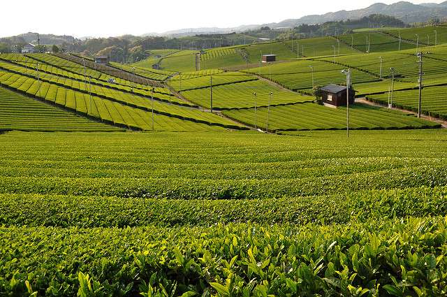 What Tea Consumers Should Be Aware Of