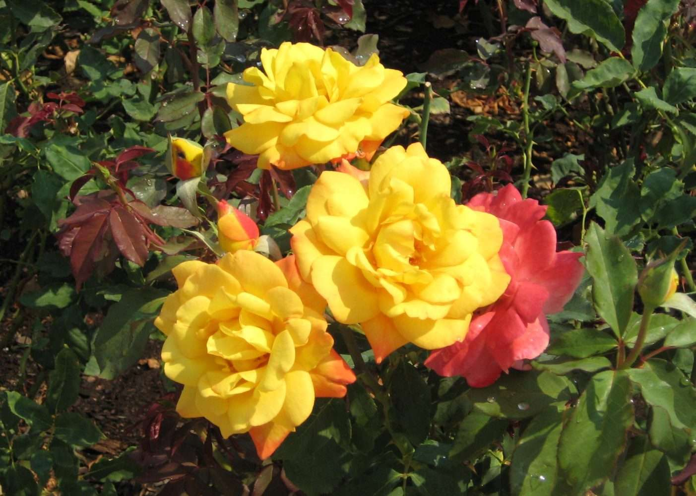 Blast From the Past: Tea roses, not rose tea