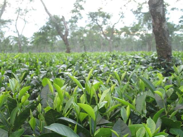 Tuesdays With Norwood, Re-Steeped: The Assam Company & A Tea Martyr