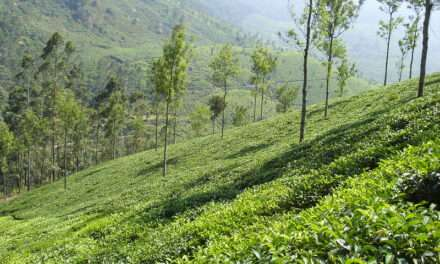 Tuesdays With Norwood, Re-Steeped: Teas of India & Teas of India – A Word on Those Initials in Tea Names