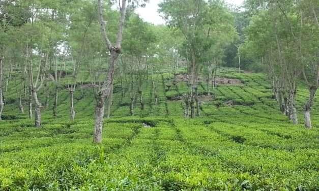 Tea Blogging Retrospective; Four Busy Years – Part 2