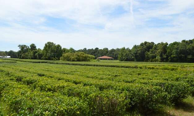 Blast From the Past: It's a small tea world after all