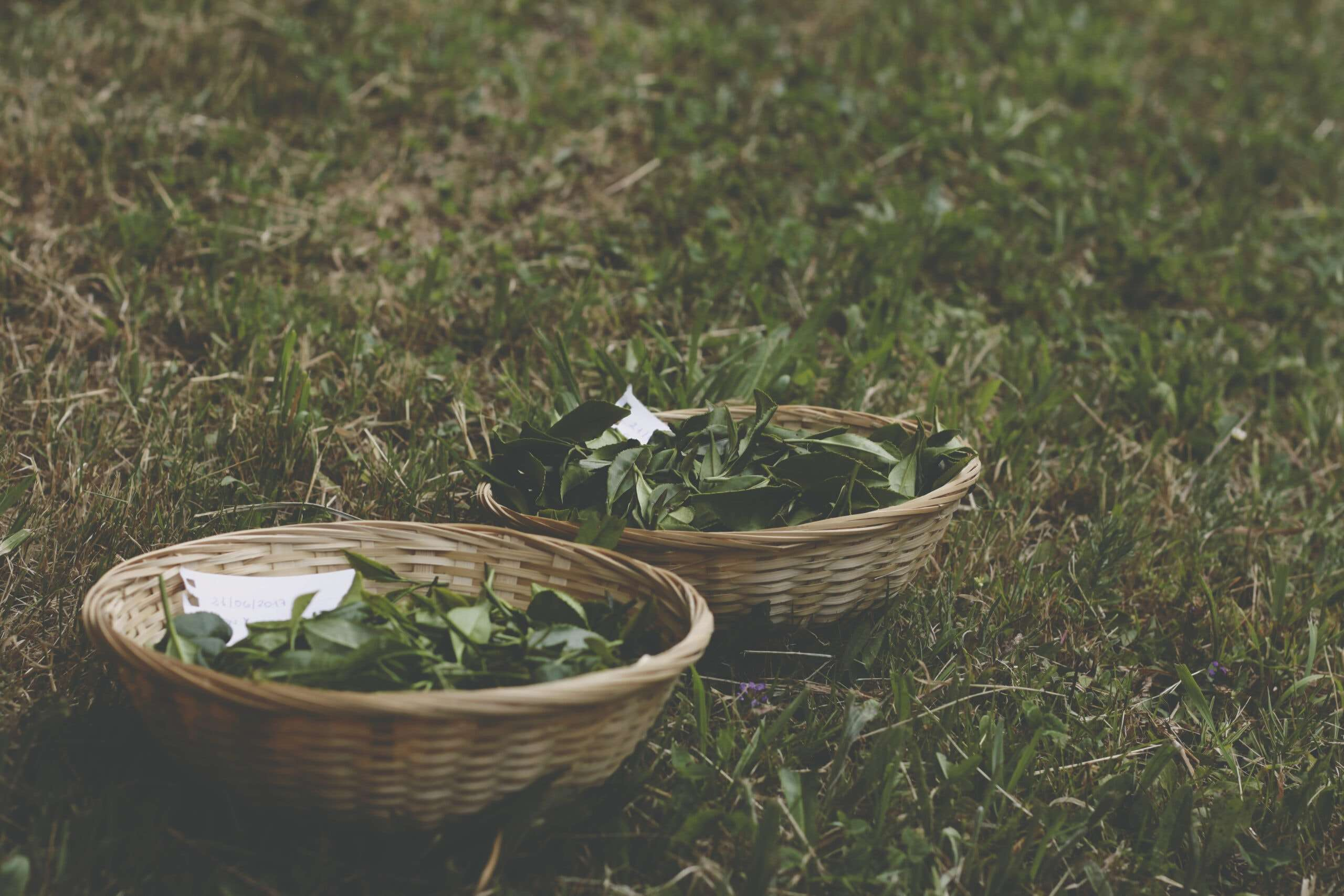 Photo of two baskets on the ground of freshly-harvested tea leaves at a tea plantation in Spain