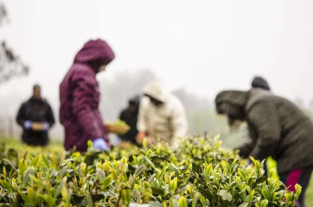 Photo of people in a tea field in Spain