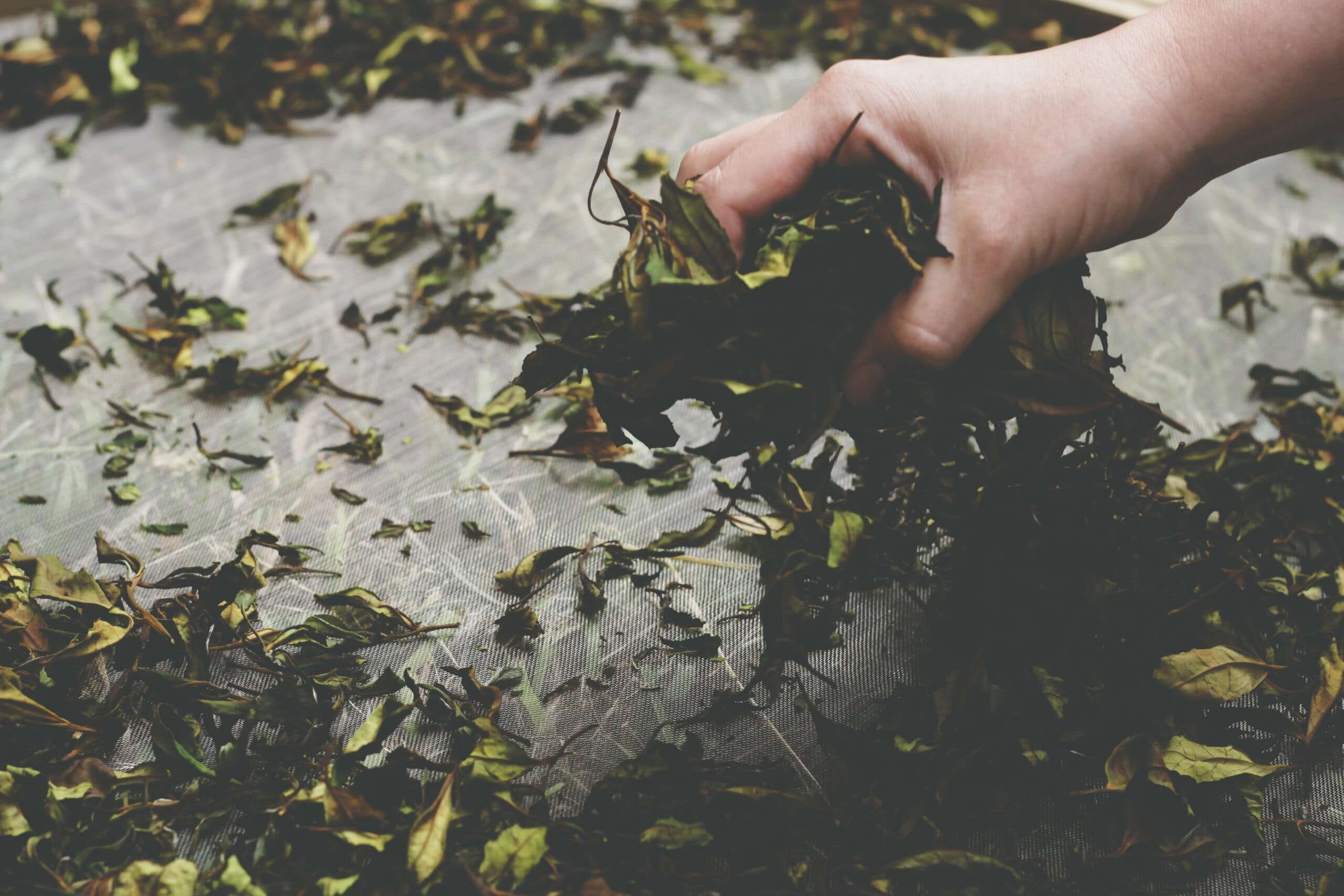 Photo of a hand grasping a handful of freshly-picked Spanish tea