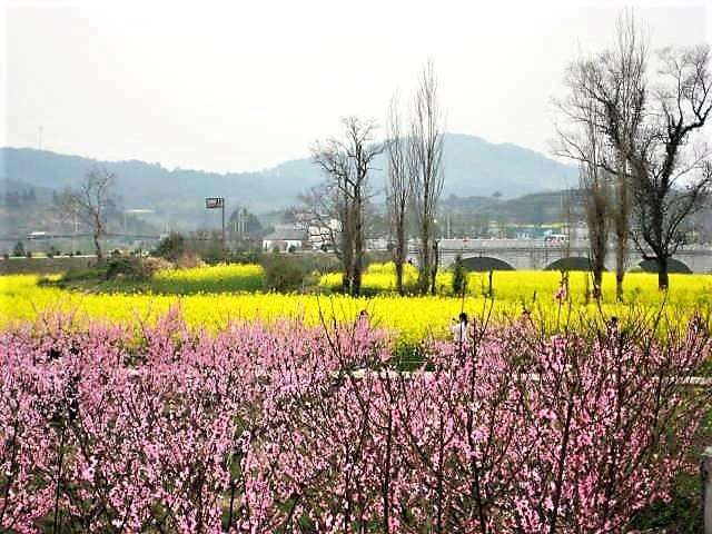 A photo of pink blossoms in front of a field of yellow rapeseed flowers.