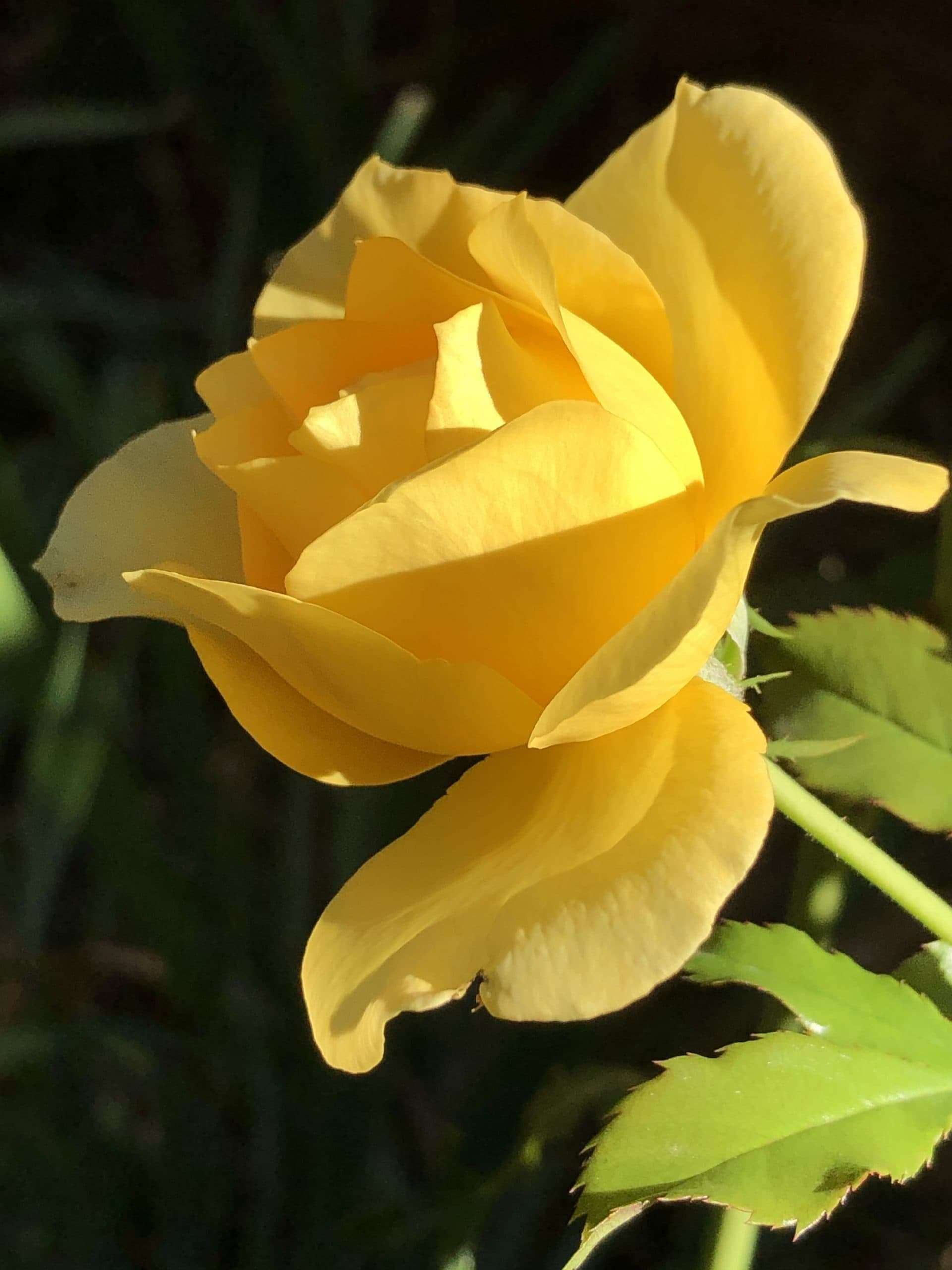 Happiness Month - A photo of a yellow rose