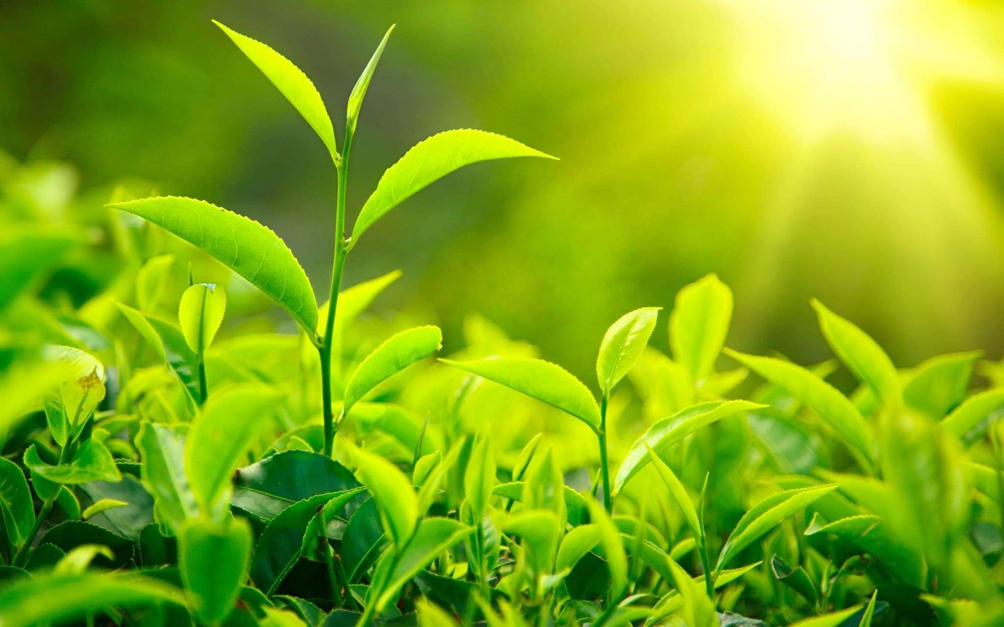 Green Tea: Healing And Serenity In A Cup - Photo of young tea leaves in sunlight